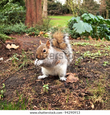 grey squirrel, Hyde park, London - stock photo