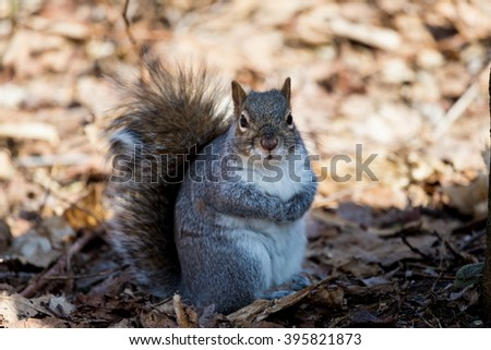 Grey Squirrel in a forest in Quebec Canada. - stock photo