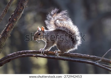 Grey Squirrel looking alert on a Northumberland woodland tree branch in Spring - stock photo