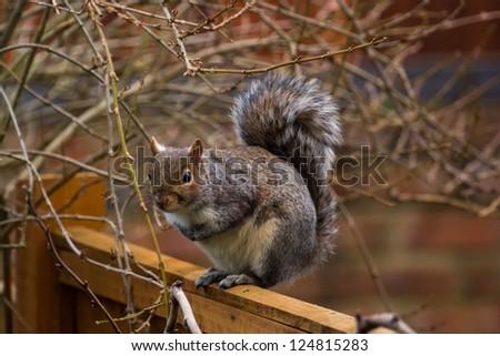 Grey squirrel on garden fence - stock photo