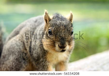 Grey Squirrel Portrait - stock photo