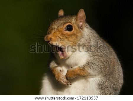 Grey squirrel yawning - stock photo