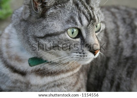 Grey Tabby Cat - stock photo