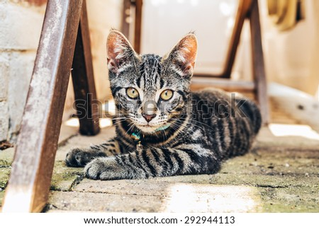 Grey tabby cat with intense golden eyes lying on a paved floor amongst wooden trusses staring at the camera - stock photo