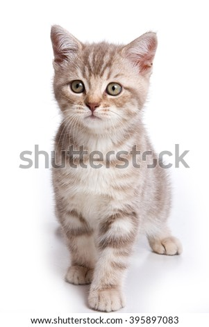 Grey tabby kitten British cat (isolated on white) - stock photo