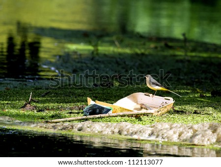 Grey Wagtail (Motacilla cinerea) sitting on polystyrene litter in polluted river - stock photo