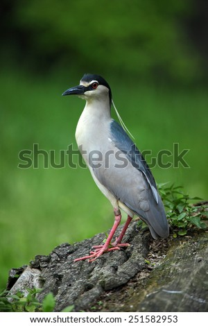 Grey water bird night heron sitting on the branch - stock photo