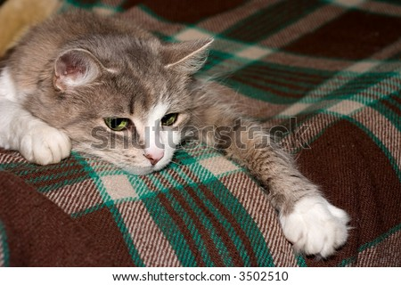 grey with white cat lays on plaid - stock photo