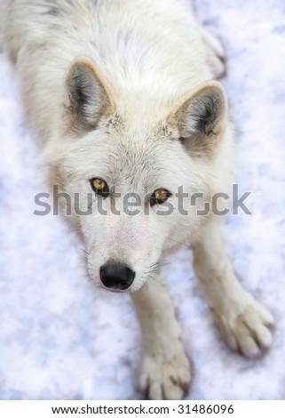 grey wolf - stock photo