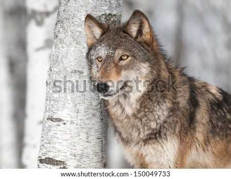 Grey Wolf (Canis lupus) by Single Birch Tree - captive animal - stock photo