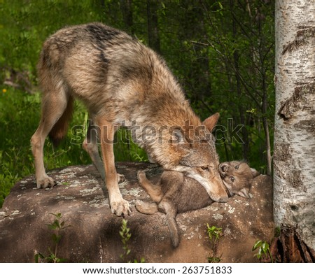 Grey Wolf (Canis lupus) Mother Holds Pup Atop Rock - captive animals - stock photo