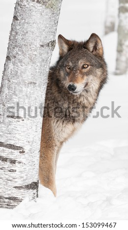 Grey Wolf (Canis lupus) Peeks from Behind Birch Tree - captive animal - stock photo