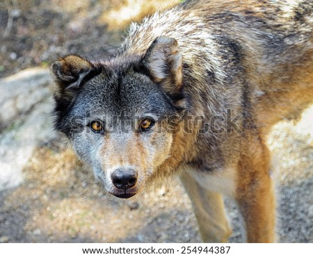 Grey wolf, canis lupus, portrait from up - stock photo