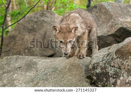 Grey Wolf (Canis lupus) Pup Looks Down from Atop Rock - captive animal - stock photo