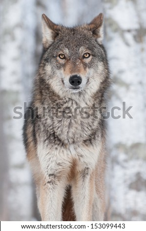 Grey Wolf (Canis lupus) Straight On - captive animal - stock photo