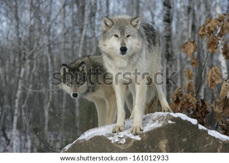 Grey wolf, Canis lupus, two wolves,  captive                    - stock photo