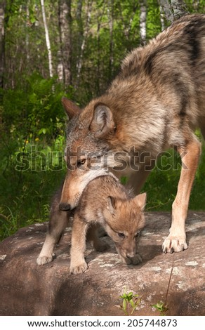 Grey Wolf (Canis lupus) Works to Pick up Pup - captive animals - stock photo