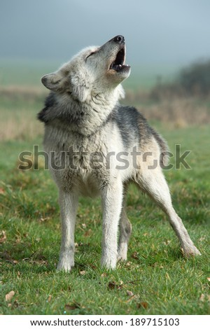 Grey Wolf howling against a misty background/Wolf/Grey Wolf - stock photo