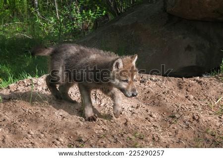 Grey Wolf Pup (Canis lupus) Runs Right - captive animal - stock photo