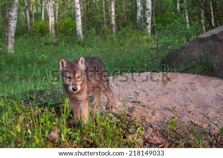 Grey Wolf Pup (Canis lupus) Stands at Den Entrance - captive animal - stock photo