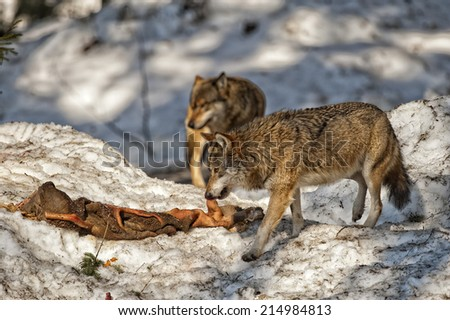 Grey wolf while eating meat on the snow background - stock photo