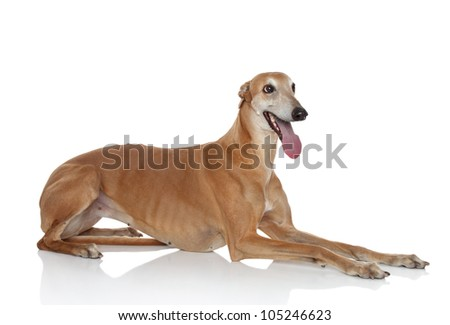 Brown And White Greyhound Greyhound Dog Lying on a White
