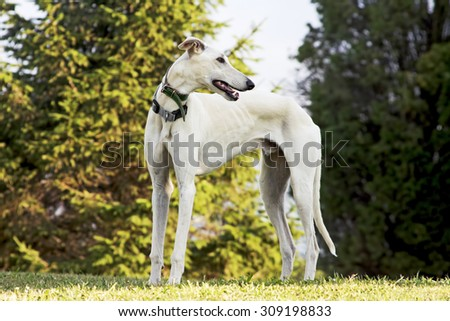 greyhound dog on the green grass in the park with  trees in background - stock photo