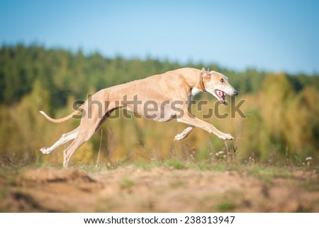 Greyhound dog running in autumn - stock photo