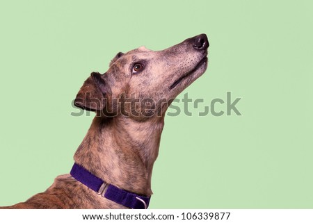 Greyhound on green - stock photo