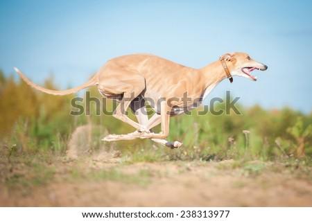 Greyhound running in autumn - stock photo