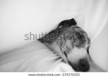 Greyhound sleeping - stock photo