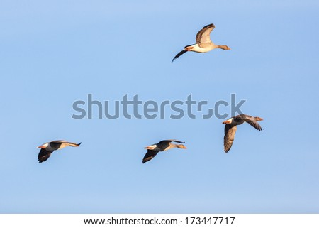 Greylag Geese flying against blue sky - stock photo