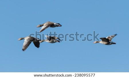 Greylag Geese in flight. Anser anser. Villafafila Lagoons Nature Reserve. Zamora. - stock photo