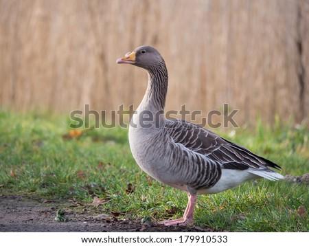 Greylag goose - stock photo