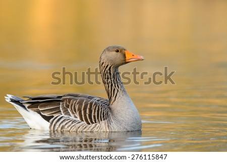 Greylag Goose (Anser anser) swimming. - stock photo