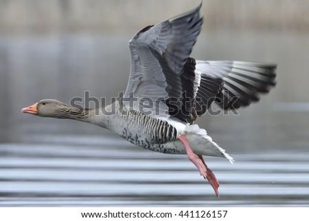 Greylag goose in flight - stock photo