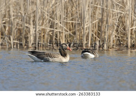 Greylag goose in Spring.  (Anser anser)  - stock photo