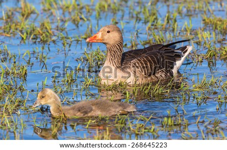 Greylag Goose with a gosling in water - stock photo