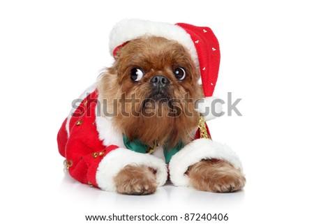 Griffon Bruxellois in santa christmas hat. Portrait on a white background - stock photo