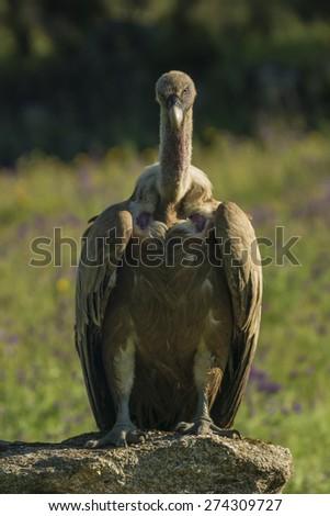 griffon vulture - stock photo