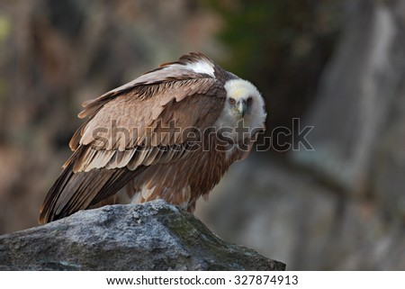 Griffon Vulture, Gyps fulvus, Big birds of prey sitting on the stone, rock mountain, France - stock photo