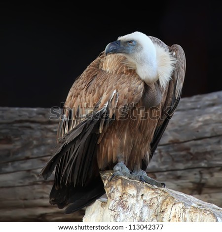 Griffon vulture (Gyps fulvus) in side angle view with black background - stock photo