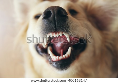 Grin of merry golden retriever, close up - stock photo