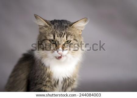 grinning fluffy cat licks - stock photo