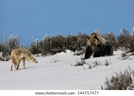 Grizzly and Coyote - stock photo