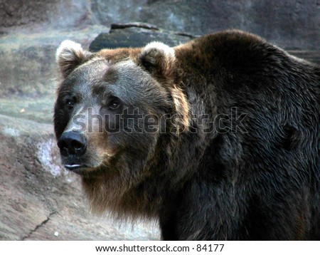 grizzly bear color - stock photo