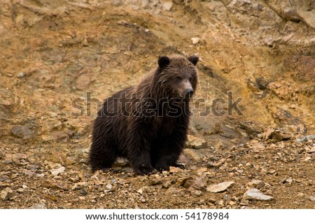 Grizzly Bear Cub - stock photo