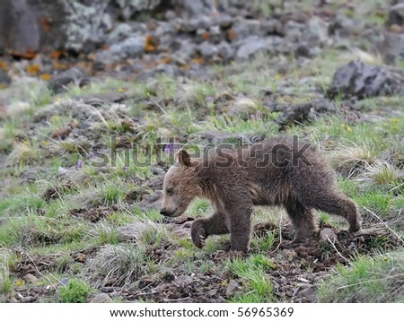 Grizzly bear cub walking - stock photo