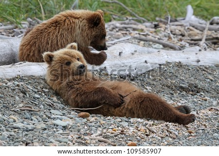 Grizzly Bear cubs relaxing on a beach. - stock photo