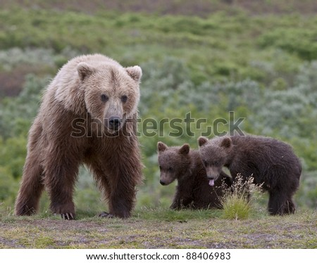 Grizzly Bear Family - stock photo